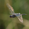 Black Saddlebags - Tremea Lacerata (M)