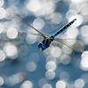 Blue Eyed Darner  - Rhionaeschna multicolor (M)