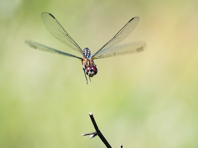 Blue Dasher (F) - Pachydiplax Longipennis