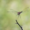 Blue Dasher (F) - Pachydiplax Longipennis