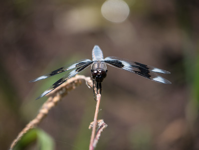 Eight-spotted Skimmer (M) - Libellula forenis