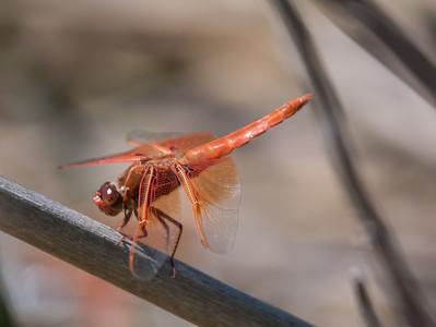 Flame Skimmer (M) - Libellula Saturata