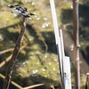 Eight-spotted Skimmer (M) and Western Pondhawk