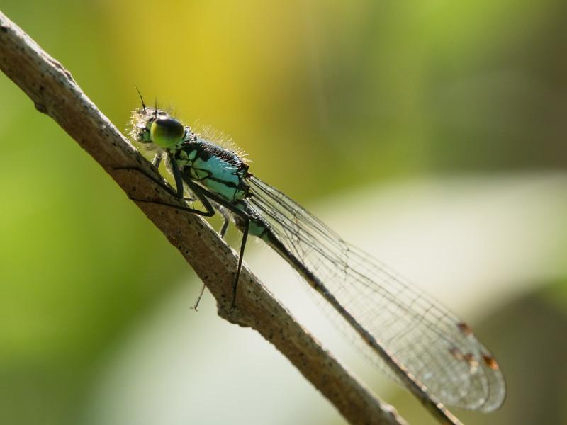 Black-fronted Forktail - Ischnura deticollis