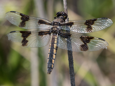 Eight-Spotted Skimmer - Libellula forensis (F)