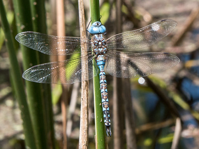 Blue-eyed Darner - Rhionaeschna multicolor (M)