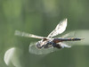 Black Saddlebags - Tramea lacerata