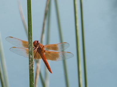Flame Skimmers