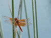 Flame Skimmer - Libellula saturata (M)