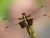 Widow Skimmer - Libellula luctuosa (F)