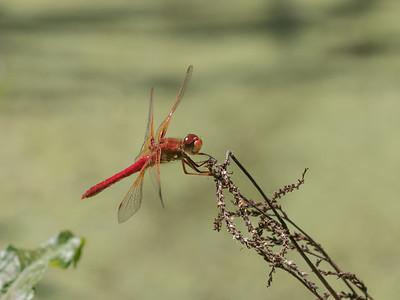 Cardinal Meadowhawk - Sympetrum illotum
