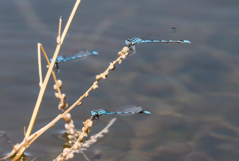 Trio of Bluets.
