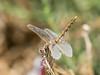 Variegated Meadowhawk -Sympetrum corruptum (F)