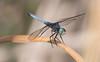 Blue Dasher - Pachydiplax longipennis (M)