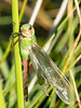 Green Darner - Anax junius (Teneral Male)