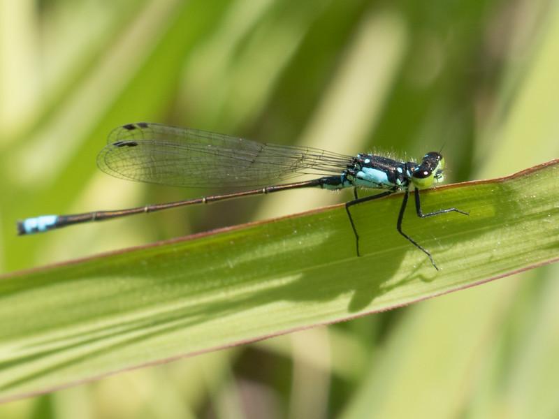 Pacific Forktail - Ischnura cervula (M)