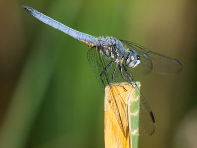 Blue Dasher - Pachydiplax longipennis - Immature Male