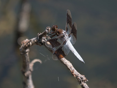 Common Whitetail (M) Libellula lydia