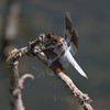 Common Whitetail (M) Libellula lydia