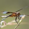 Widow Skimmer (F) - Libellula luctuosa