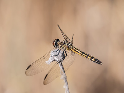 Blue Dasher Immature (F) -  Pachydiplax longipennis