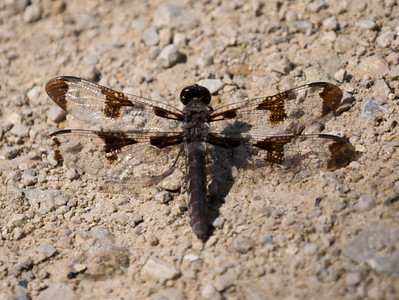 Common Whitetail (F) - Plathemis lydia