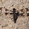 Common Whitetail (F) - Plathemis lydia