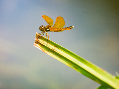 Eastern Amberwing (M) - Perithemis tenera