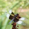 Widow Skimmer (M) - Libellula luctuosa