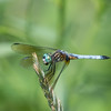 Blue Dasher - Eastern Coloration-  Pachydiplax longipennis (M)