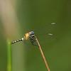Erythrodiplax andagoya (M - Immature)