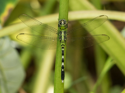 Eastern Pondhawk  - Erythemis simplicicollis (Immature M)