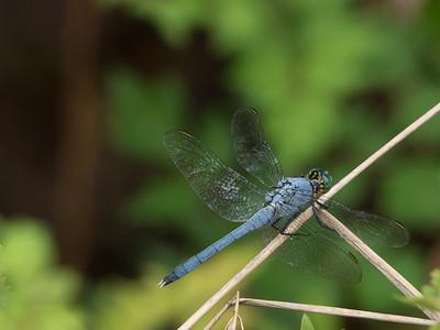Eastern Pondhawk  - Erythemis simplicicollis (M)