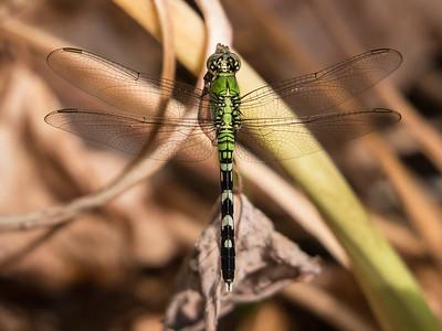 Eastern Pondhawk  - Erythemis simplicicollis (F)