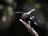 Twelve-spotted Skimmer - Libellula pulchella (M)