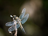 Four-spotted Skimmer  - Libellula quadrimaculata