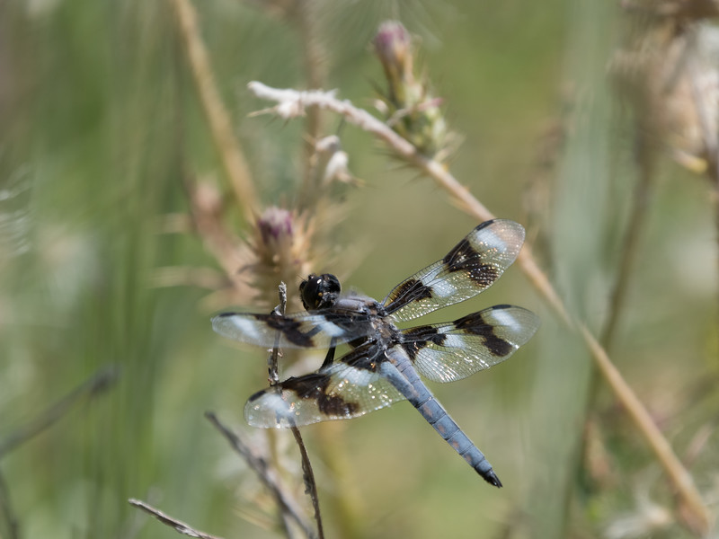 Eight Spotted Skimmer (M) - Libellula forensis