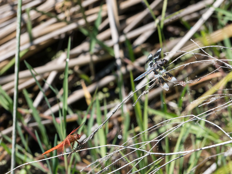 Flame Skimmer and Eight-Spotted Skimmer