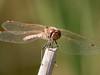 Variegated Meadowhawk -  Sympetrum corruptum (M)