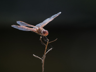 Variegated Meadowhawk (M) - Sympetrum corruptum