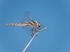 Variegated Meadowhawk -  Sympetrum corruptum  (F)