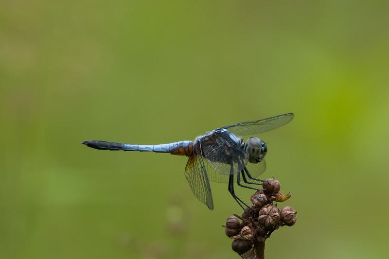 Blue Marsh Hawk (Odoanata: Orthetrum galucaum)