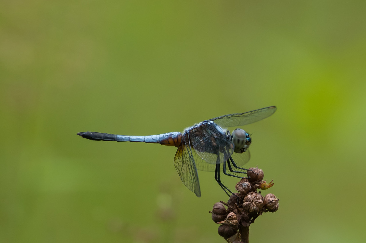 Blue Marsh Hawk (Odoanata: Orthetrum galucaum)