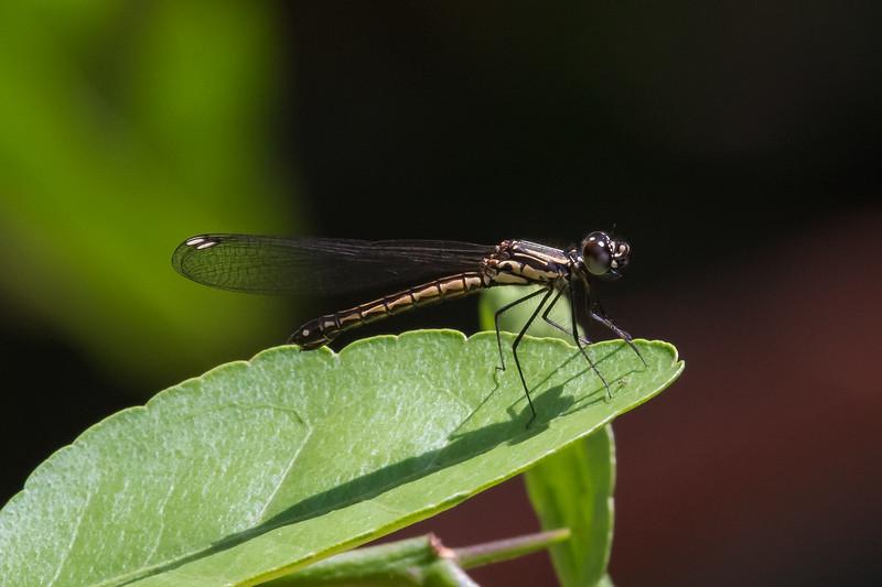 Common Club Tail (Odonata: Ictinigomphus rapax)