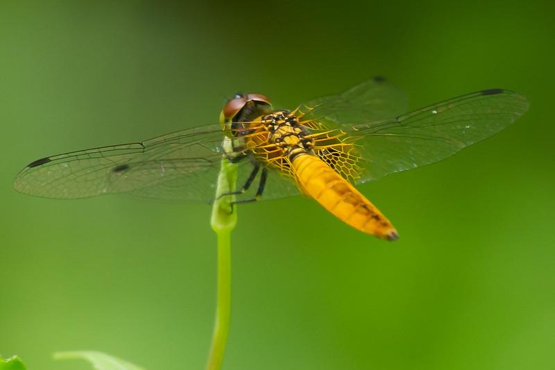 Wandering Glider (Pantala flavescens) (Anisoptera)