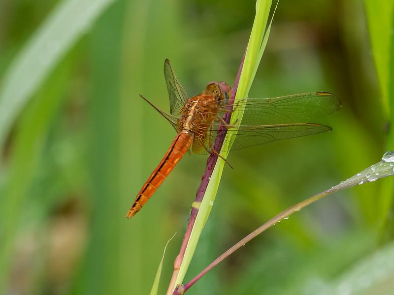 Ditch Jewel (Brachythemis contaminata) (Odonata, Libellulidae)