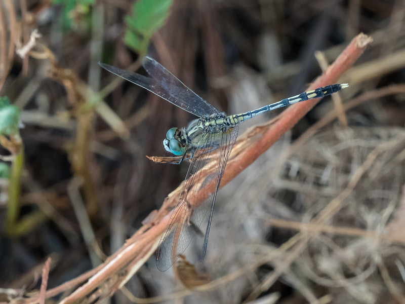 Trumpet Tailed
