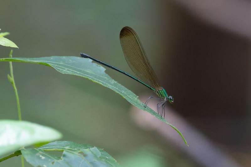Stream Glory (Odanata: Neutobasis chinensis)
