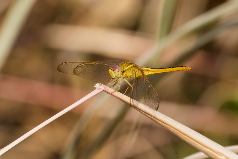 Coral-tailed Cloud Wing (f)