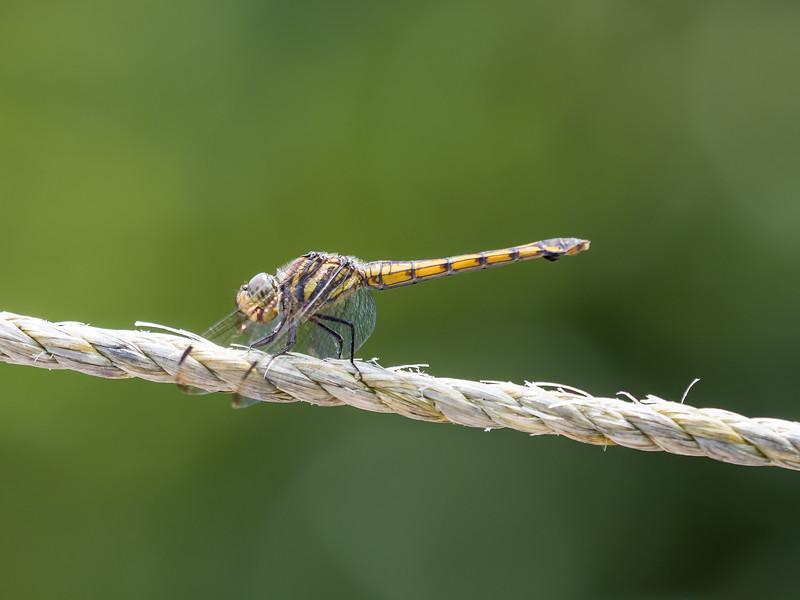 Ground Skimmer (Diplocodes trivialis)